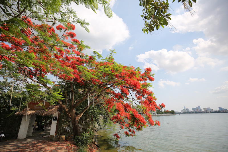 Hanoi's streets covered by flamboyant flowers in summer
