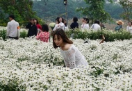 Ox-eye daisy garden in Hanoi attracts visitors