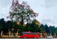 Hanoi's roadsides blanketed by stunning red kapok trees
