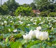 Irresistible beauty of white lotus flowers in Hanoi