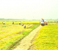 Vietnam continues restructuring rice cultivation