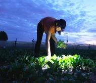 Hanoi farmers work at night to avoid burning sun 