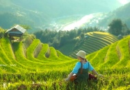 Where to see ripening rice fields in North Vietnam