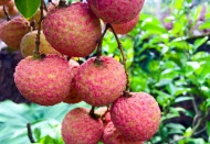 Vietnam seeks ways to consume lychee in Bac Giang epicenter