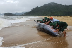 Photo of the day: Whale rescued in Vietnam
