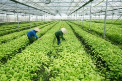 Vietnam in need of national strategy for veggie exports to EU